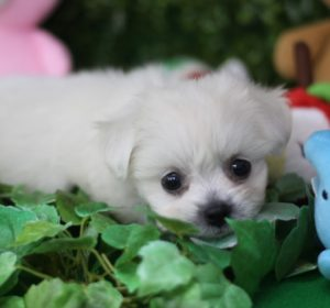 【ペキビションの子犬】ペキニーズ×ビションフリーゼのミックス犬@大阪